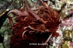 Halymenia sp rouge -