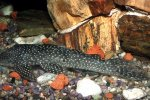 Hypostomus margaritifer -