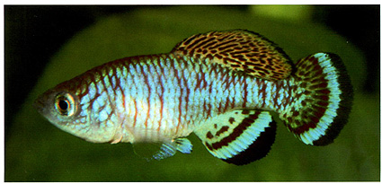NOthobranchius taiti