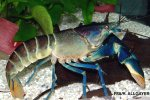 Cherax sp. Hoa Creek -